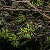 Yellow mistletoe / pirita (Alepis flavida) on mountain beech / tawhairauriki (Fuscospora cliffortioides). North Mavora Lake
