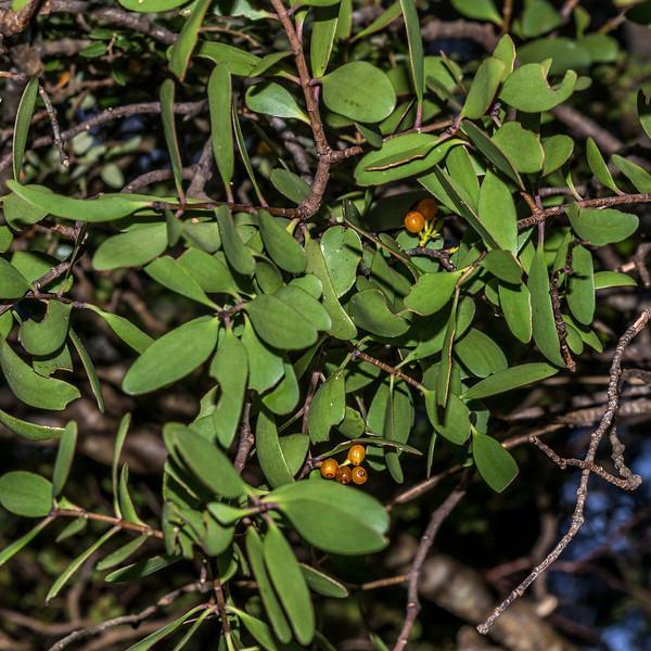 Yellow mistletoe / pirita (Alepis flavida) with berries. North Mavora Lake
