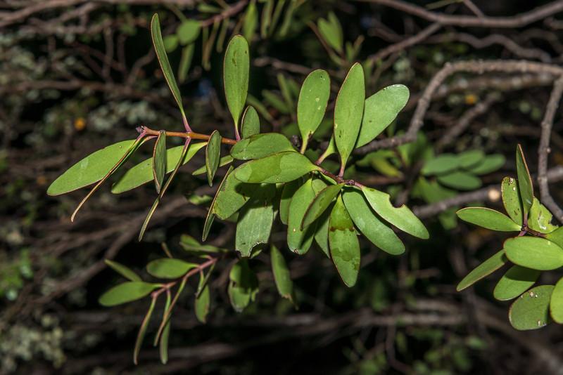 Yellow mistletoe / pirita (Alepis flavida). North Mavora Lake