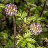 Bidibid / hutiwai or piripiri (Acaena anserinifolia). Kepler Track above Brod Bay, Fiordland National Park.