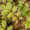 Bidibid / hutiwai or piripiri (Acaena anserinifolia). Upper Hauroko Burn, Fiordland National Park.