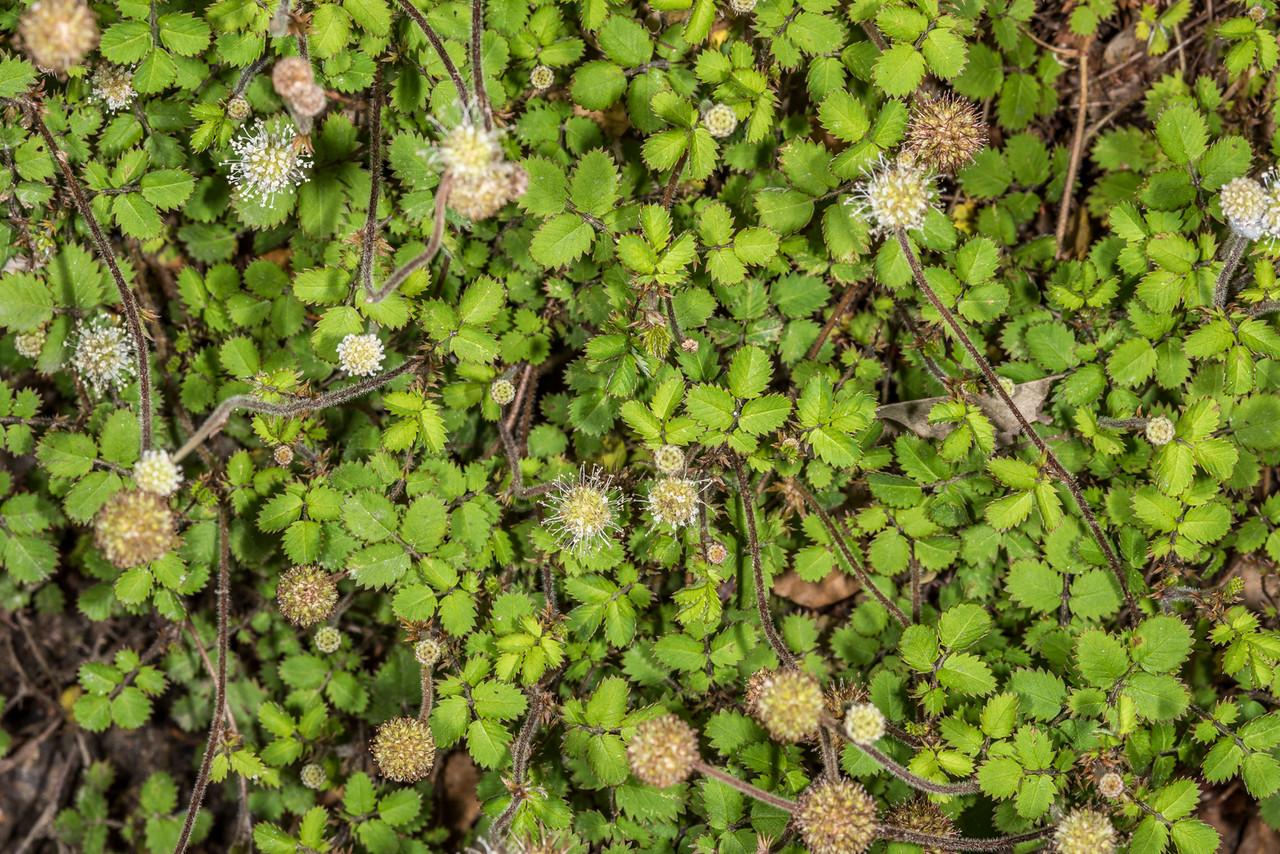 Bidibid (Acaena juvenca). Dunedin Botanic Garden.