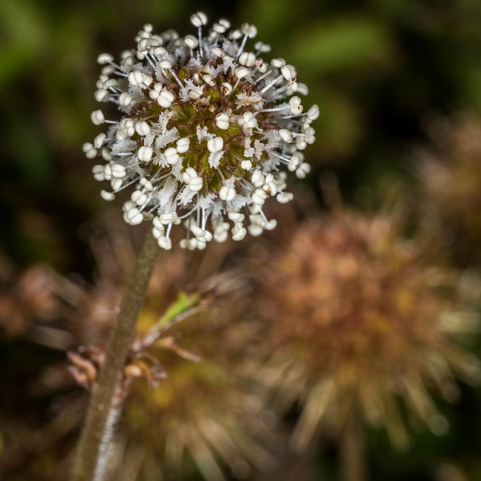 Red bidibid (Acaena novae-zelandiae). Dunedin Botanic Garden.