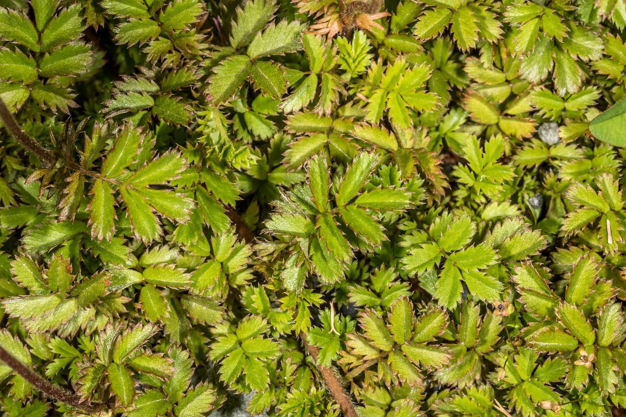 Red bidibid (Acaena novae-zelandiae). Deer Flat, Eglinton Valley.