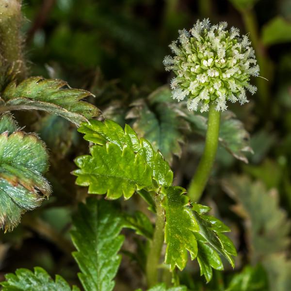 Sand bidibid (Acaena pallida). Dunedin Botanic Garden.
