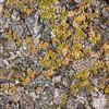 Bidibid / piripiri (Acaena profundeincisa). Iris Burn, Kepler Track, Fiordland National Park.