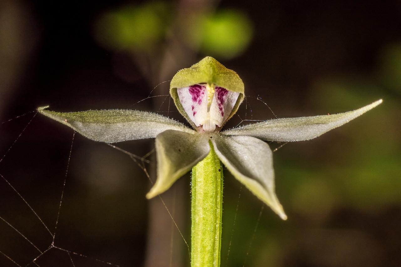 Adenochilus gracilis (a native orchid). Hauroko Burn, Fiordland National Park.