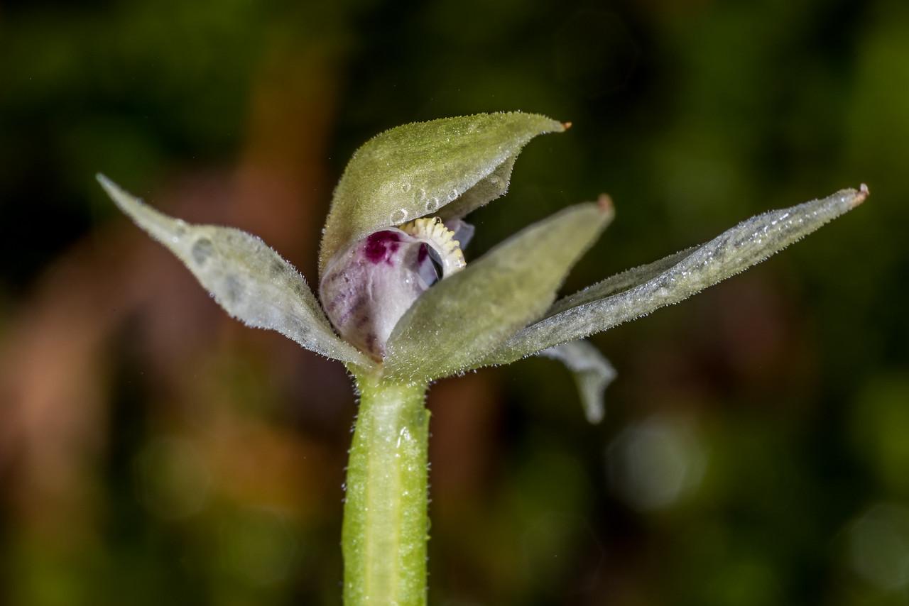 Adenochilus gracilis (a natice orchid), Kepler Track above Brod Bay, Fiordland National Park.