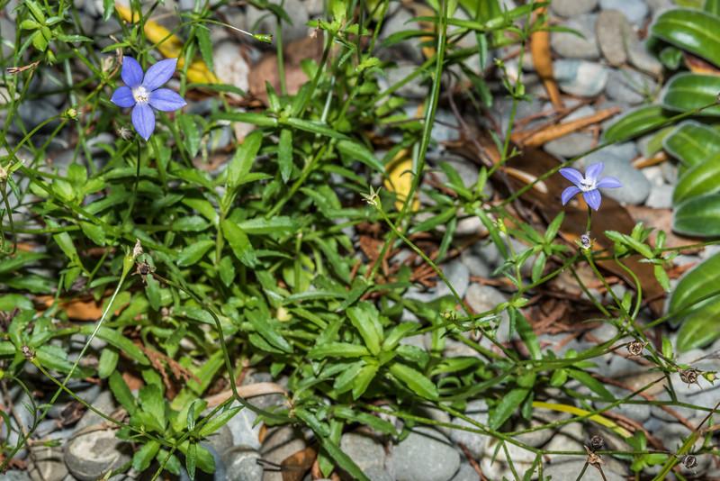 Akaroa harebell (Wahlenbergia akaroa). Dunedin Botanic Garden.