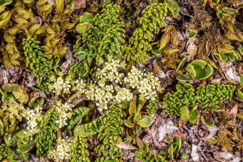 Aromatic aniseed / kopoti (Anisotome aromatica). Gertrude Saddle, Fiordland National Park.
