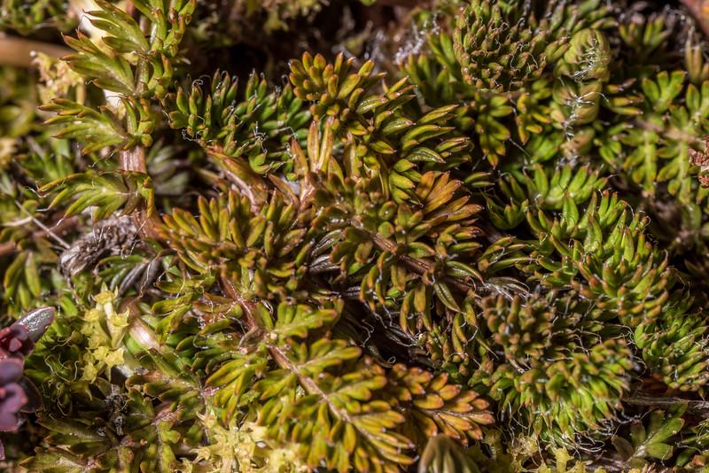 Anisotome flexuosa. Hanging Valley Shelter, Kepler Track, Fiordland National Park.