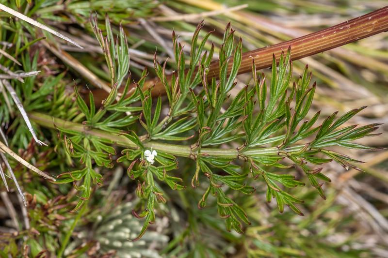 Haast's carrot (Anisotome haastii).  Buckland Peaks, Paparoa Range.