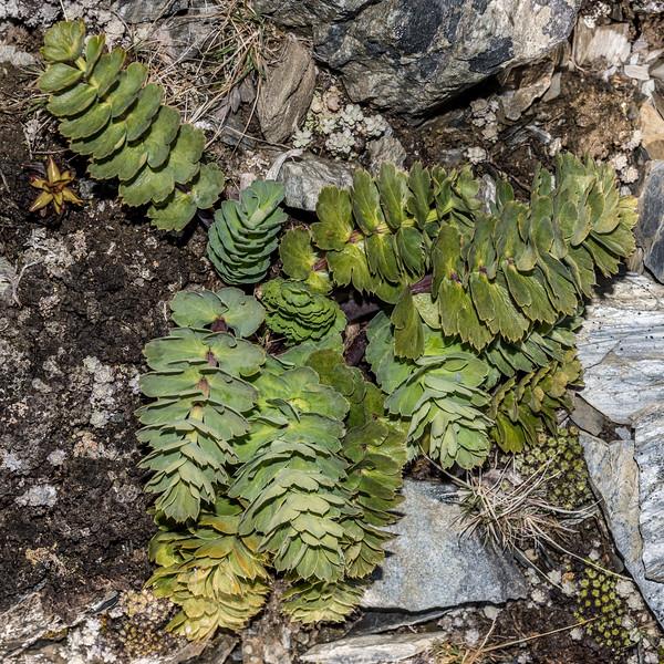 Anisotome pilifera. Young Range, Otago.