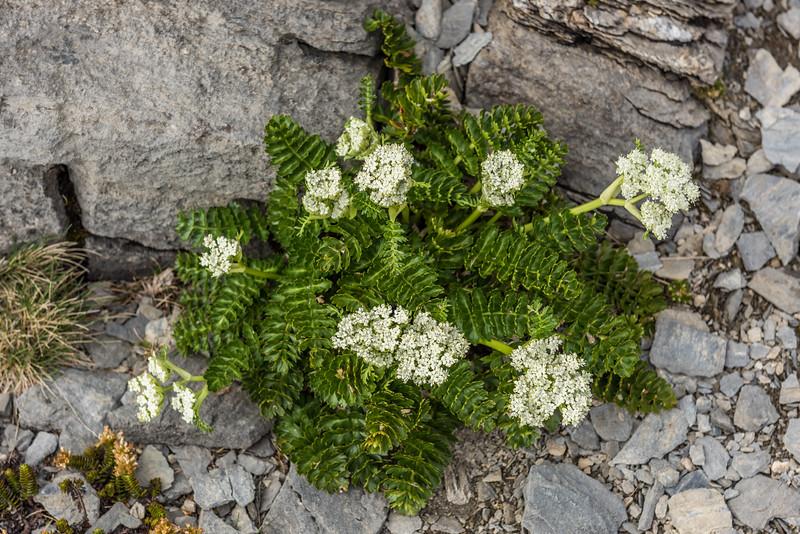 Anisotome pilifera. Mount Arthur, Kahurangi National Park.