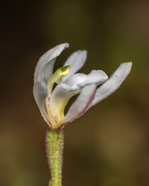 Odd-leaved orchid (Aporostylis bifolia). Lake Mouat to Rugged Mount, Cameron Mountains, Fiordland National Park.