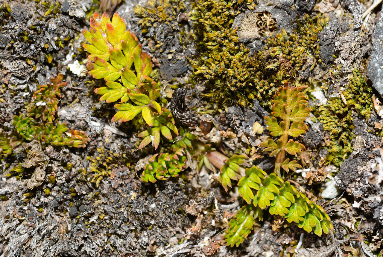 Kopoti (Anisotome aromatica). Canyon Creek, Ahuriri