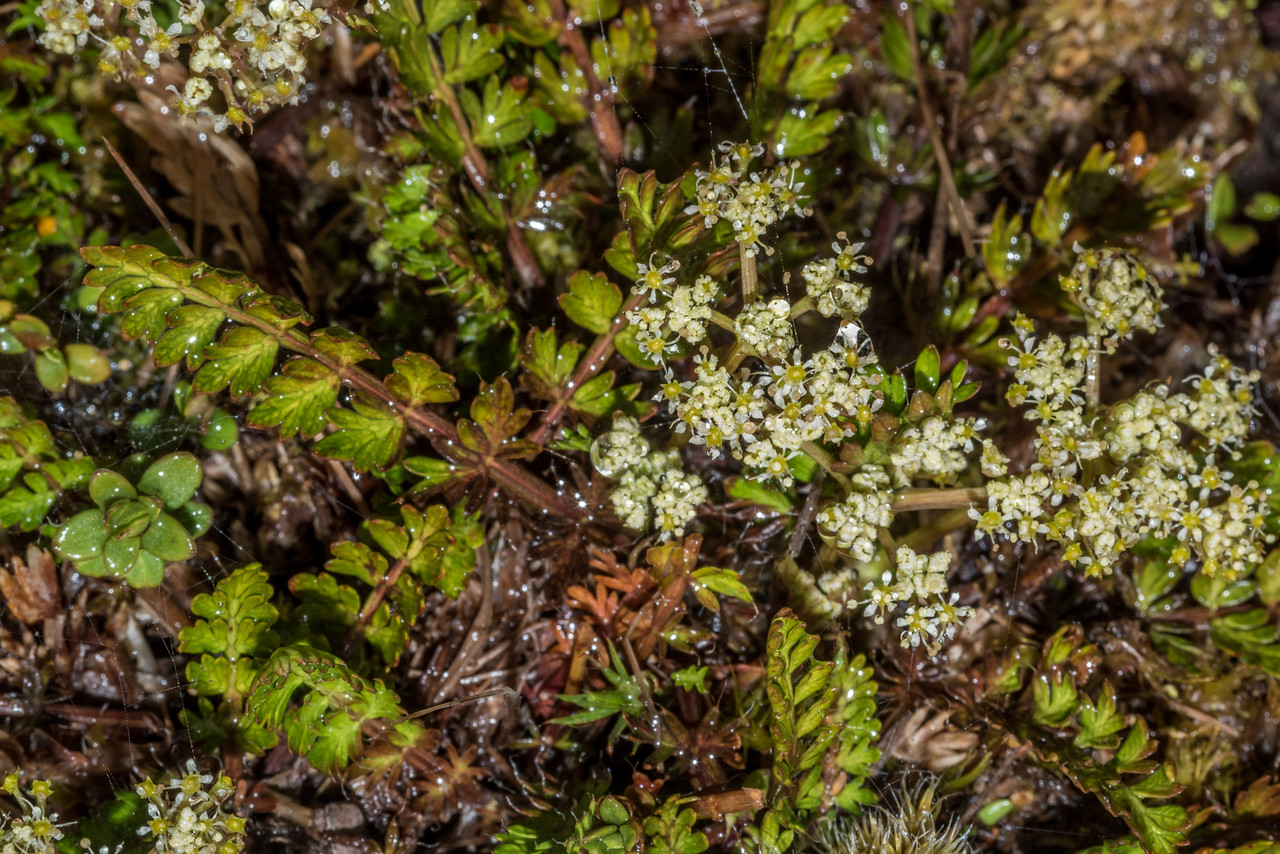 Aromatic aniseed / kopoti (Anisotome aromatica). Barrier Range, Margaret Burn / Dart Valley