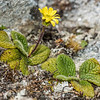Brachyglottis bellidioides. Rugged Mount, Cameron Mountains, Fiordland National Park.