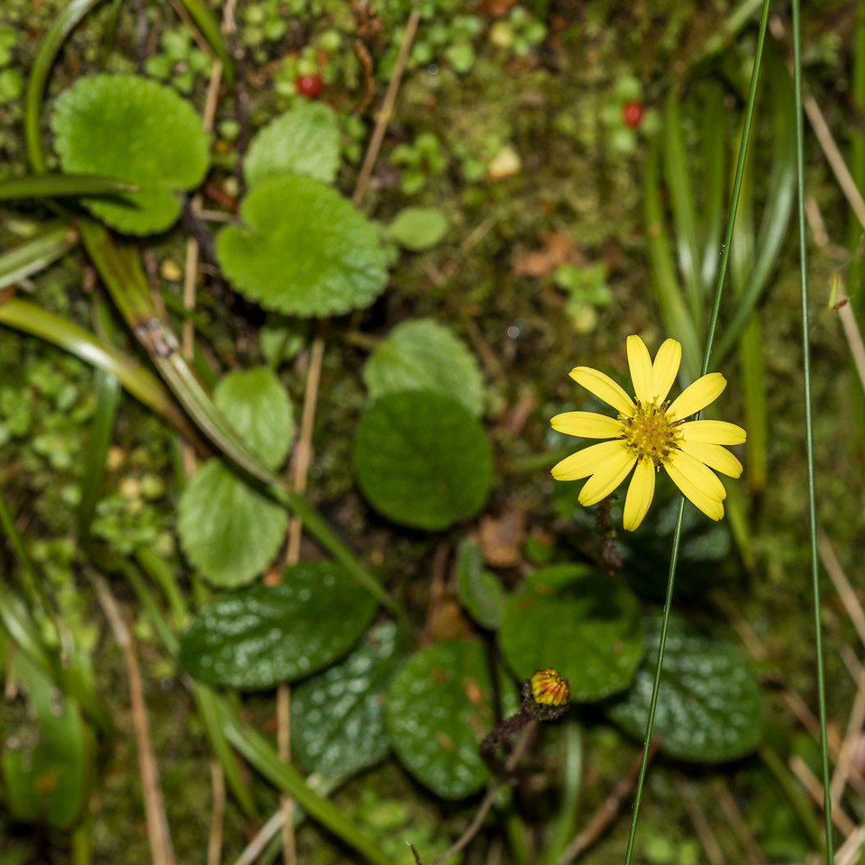Brachyglottis bellidioides. Cameron Mountains, Fiordland National Park.