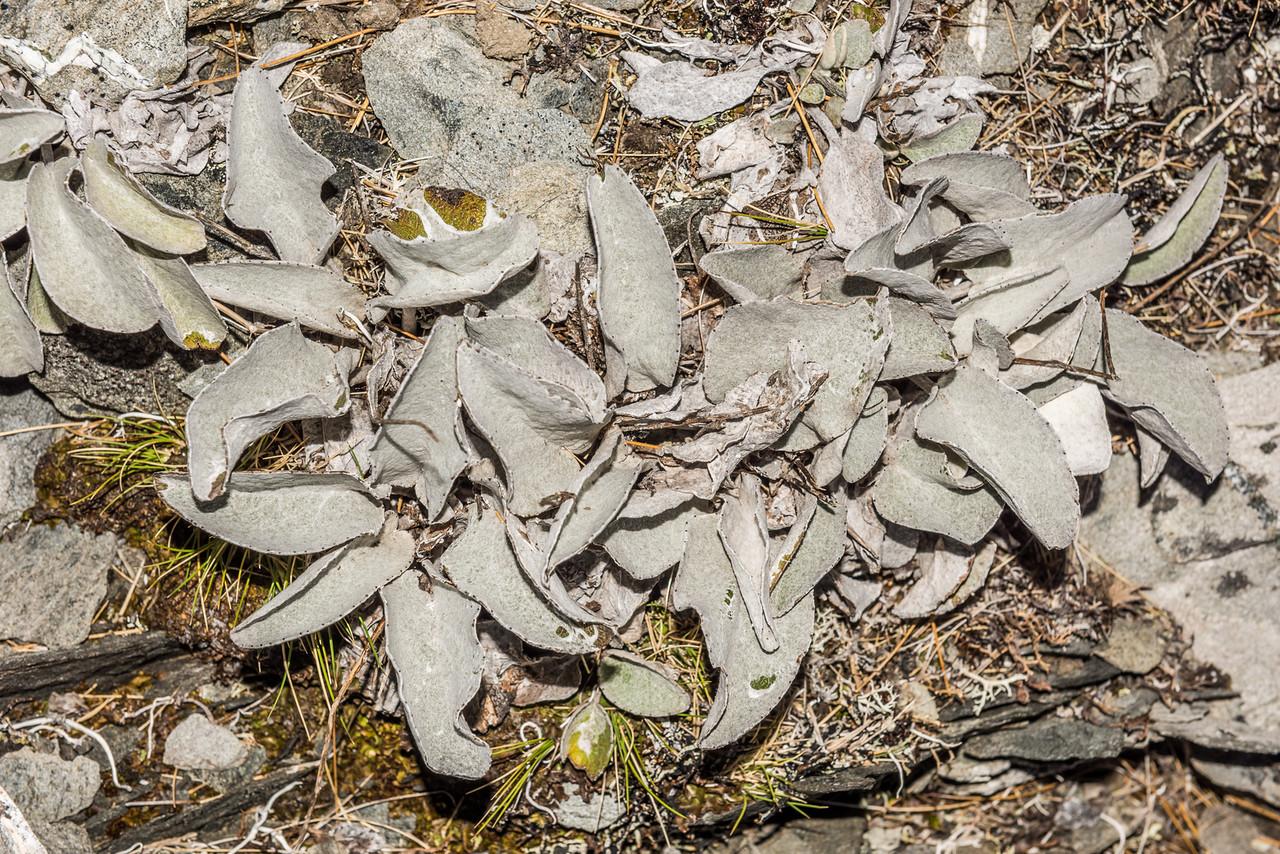 Brachyglottis haastii. Young Range tops, Camerons Creek / Cascade Creek, Otago Alps.