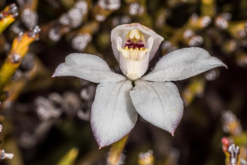 Caladenia lyallii. Lead Hills, Douglas Range, Kahurangi National Park.