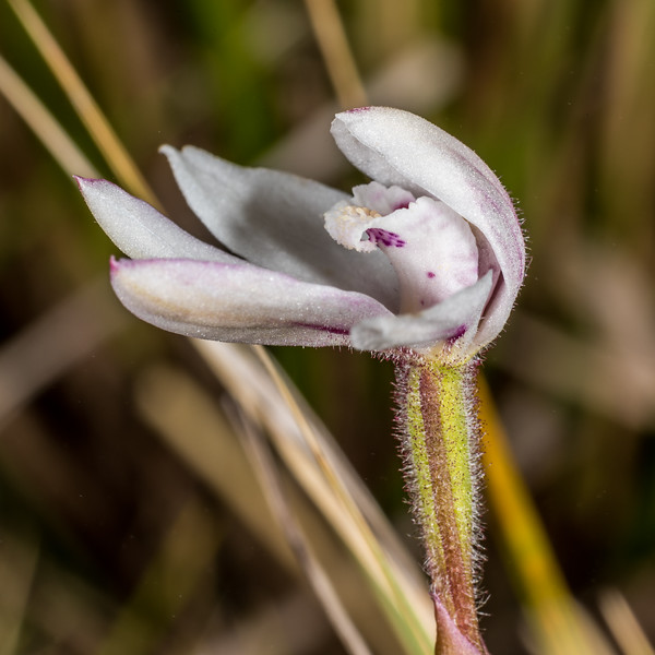 Caladenia lyallii. Mount Arthur, Kahurangi National Park.