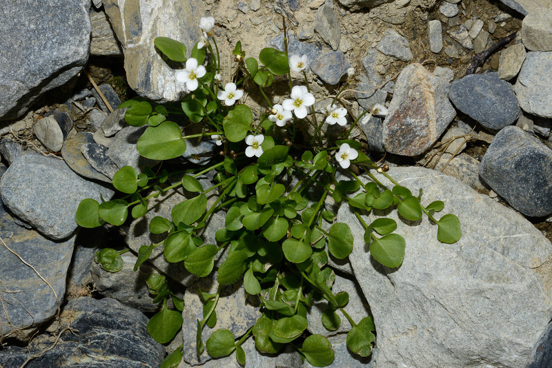 New Zealand bittercress (Cardamine corymbosa). Canyon Creek, Ahuriri