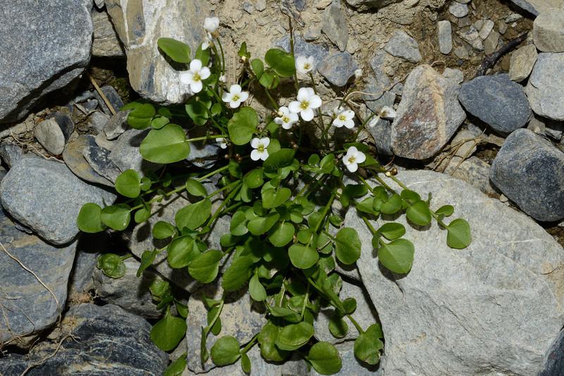 New Zealand bittercress (Cardamine corymbosa). Canyon Creek, Ahuriri