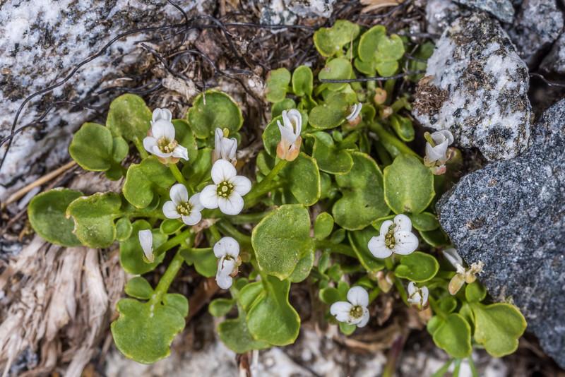 New Zealand bittercress (Cardamine corymbosa). Gertrude Valley, Fiordland National Park.
