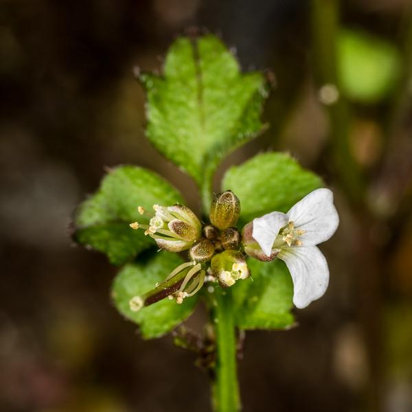 Panapana (Cardamine dolichostyla). Iris Burn, Kepler Track, Fiordland National Park.