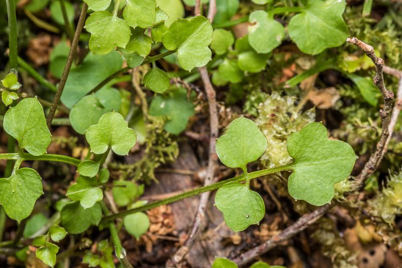 Panapana (Cardamine dolichostyla). Thisbe Stream, Catlins Forest.