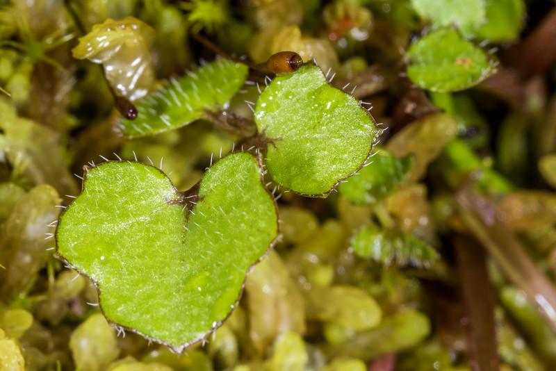 Panapana (Cardamine dolichostyla). Kepler Track to Luxmore Hut below bushline, Fiordland National Park.