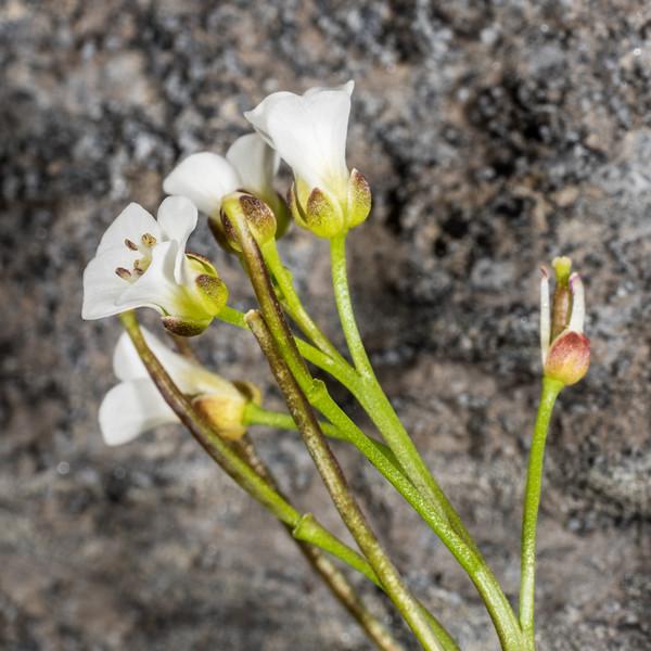 Bittercress (Cardamine polyodontes). Mount Arthur, Kahurangi National Park.