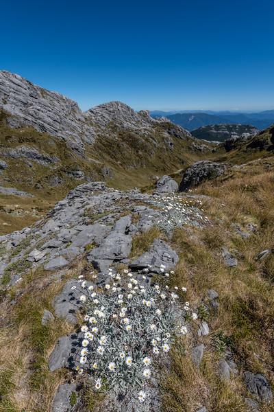 Celmisia allanii in karst landscape. Castle Basin, Mount Owen, Kahurangi National Park.