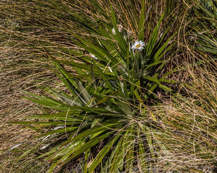 Mountain daisy (Celmisia spp.), possibly a hybrid C. armstrongii x semicordata, or C. armstrongii x petriei. Adelaide Tarn, Kahurangi National Park.