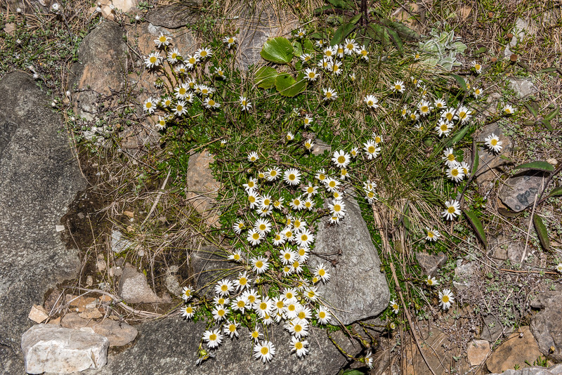 Green cushion mountain daisy (Celmisia bellidioides). Ellis Basin, Arthur Range, Kahurangi National Park.