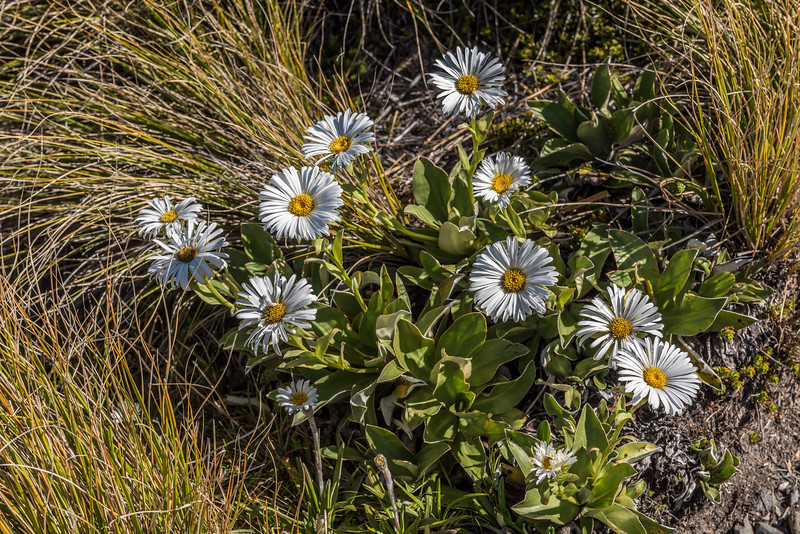 Dall's mountain daisy (Celmisia dallii). Mount Arthur, Kahurangi National Park.