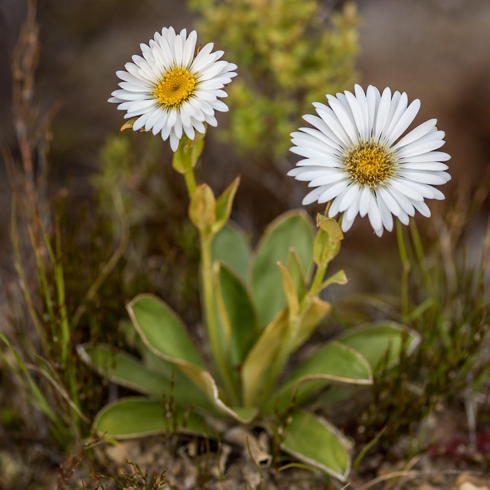 Dall's mountain daisy (Celmisia dallii). Gouland Downs, Heaphy Track, Kahurangi National Park.