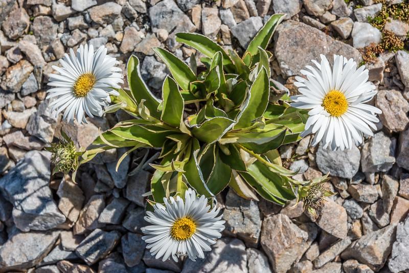 Dall's mountain daisy (Celmisia dallii). Three Pointer, Heaphy Track, Kahurangi National Park.