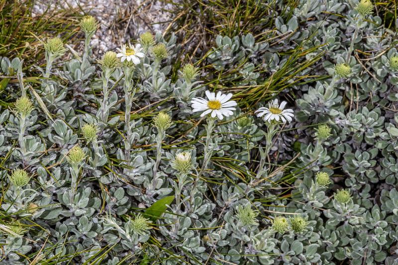 Mountain daisy (Celmisia discolor). Buckland Peaks, Paparoa Range.