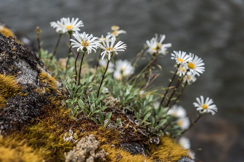Durietz's mountain daisy (Celmisia durietzii). Lake Roe, Fiordland National Park.