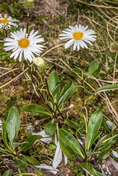 Durietz's mountain daisy (Celmisia durietzii). Gertrude Valley, Fiordland National Park.