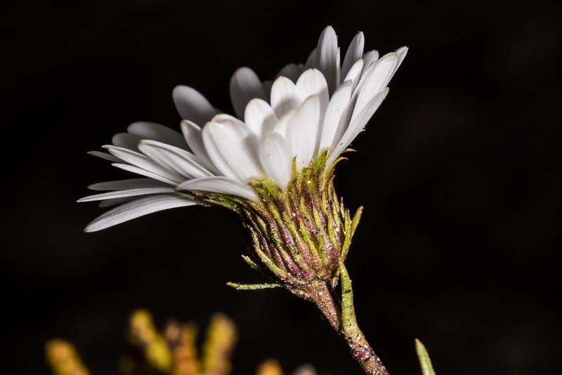 Durietz's mountain daisy (Celmisia durietzii). Kepler Track tops, Fiordland National Park.