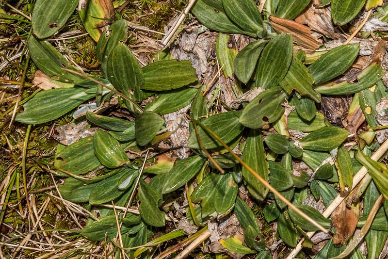 Haast's mountain daisy (Celmisia haastii var. haastii). Young Range tops, Camerons Creek / Cascade Creek, Otago Alps.