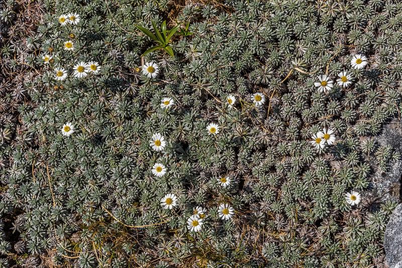Hector's daisy (Celmisia hectorii). Mount Memphis, Fiordland National Park.