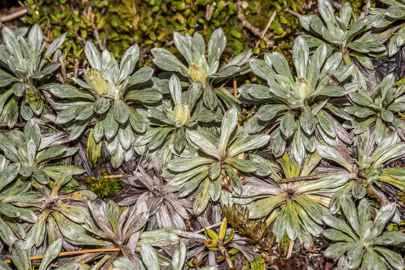 Hector's daisy (Celmisia hectorii). Barrier Range, Dart River / Margaret Burn