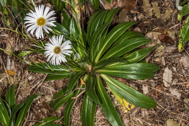 Celmisia holosericea. Dunedin Botanic Garden.