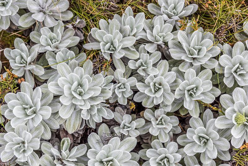White Mountain Daisy (Celmisia incana). Arena Creek, Kahurangi National Park.