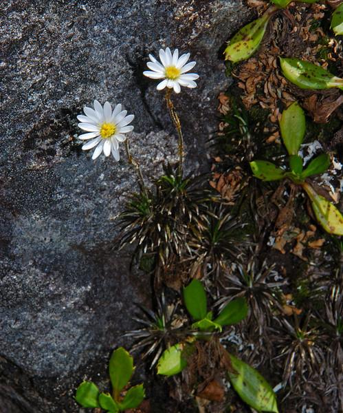 Needle-leaved mountain daisy (Celmisia laricifolia). Lake Adelaide, Fiordland