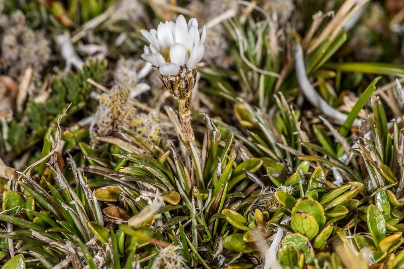 Needle-leaved mountain daisy (Celmisia laricifolia). Gertrude Valley, Fiordland National Park.